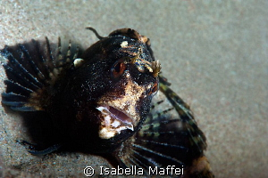 &quot;PIN UP BLENNY&quot;